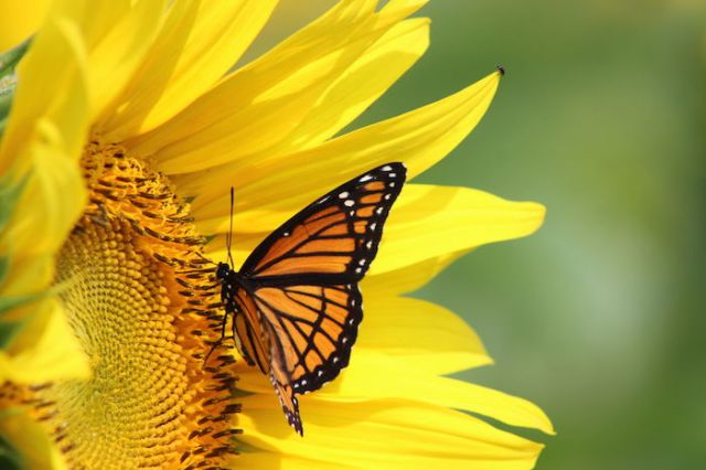 42023921 - monarch on a sunflower
